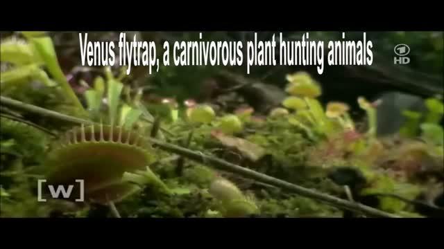 The Venus Flytrap <i>Dionaea muscipula</i> Counts Prey-Induced Action Potentials