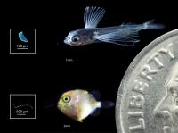 Larval Flying Fish and Triggerfish with Ingested Plastics