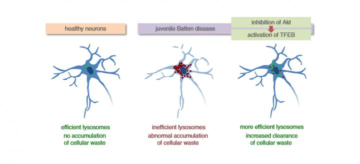 Lysosomes in Healthy Neurons and in Neurons with Juvenile Batten Disease