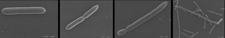 A new bacteria, made in Belgium (and UCLouvain)