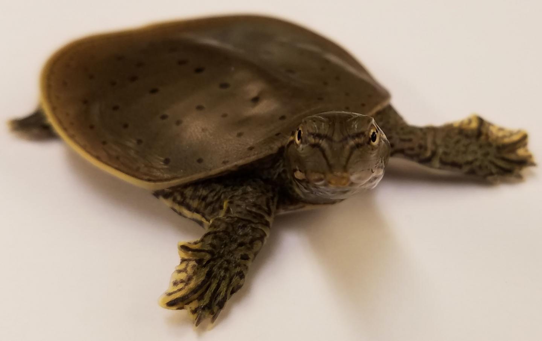Softshell Turtle Apalone spinifera