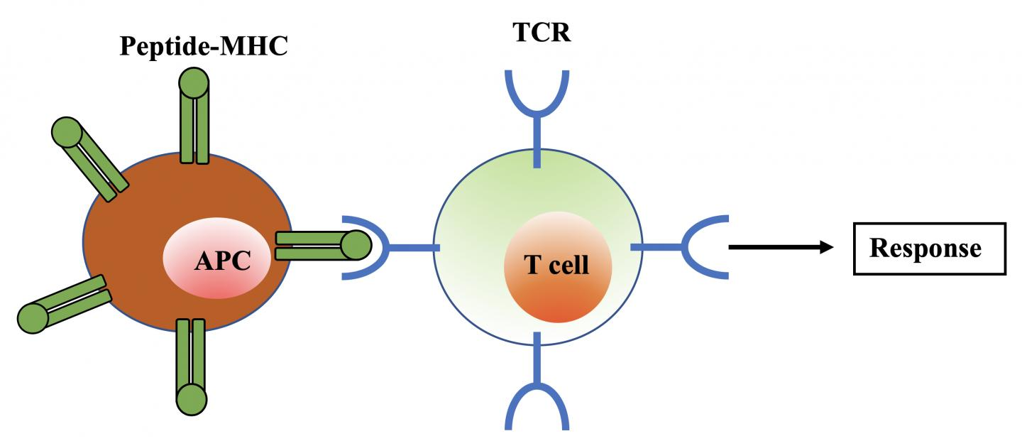 T CELL 1