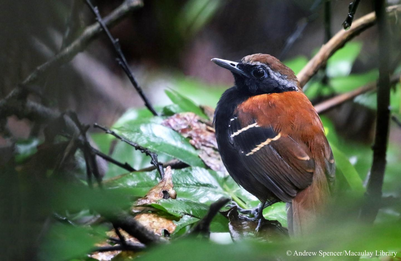 Cordillera Azul Antbird