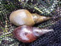 Snails transmit parasitic organisms to fish