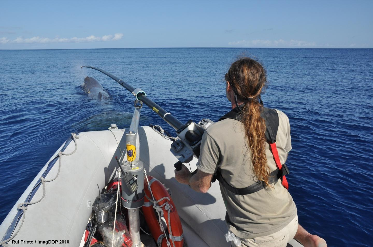 Sperm Whale Tagging