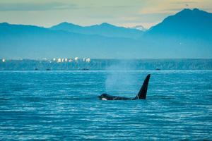 Southern resident killer whale feeding