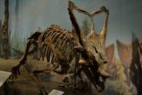 <i>Chasmosaurus</i> Skeleton in the Royal Tyrrell Museum of Paleontology