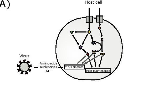 Schematic representation of the integrated host-virus metabolic modelling approach used in the article.