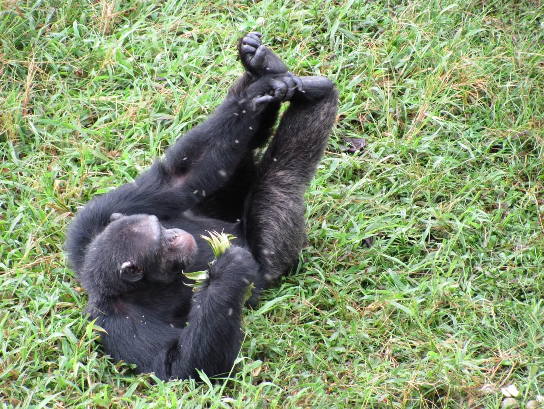 An Endangered Chimpanzee in Uganda