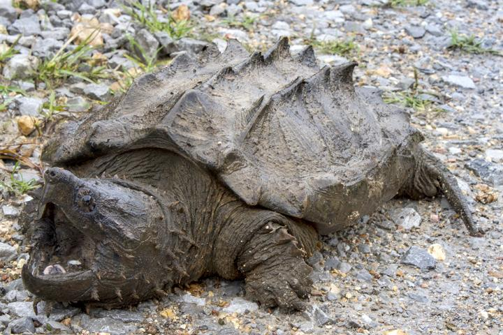 Wild Alligator Snapping Turtle