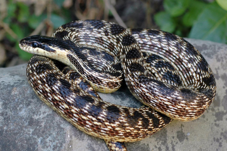 Elaphe urartica