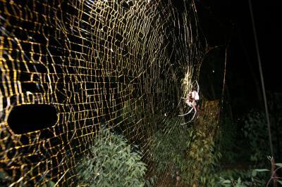 Golden Web of Orb Spider