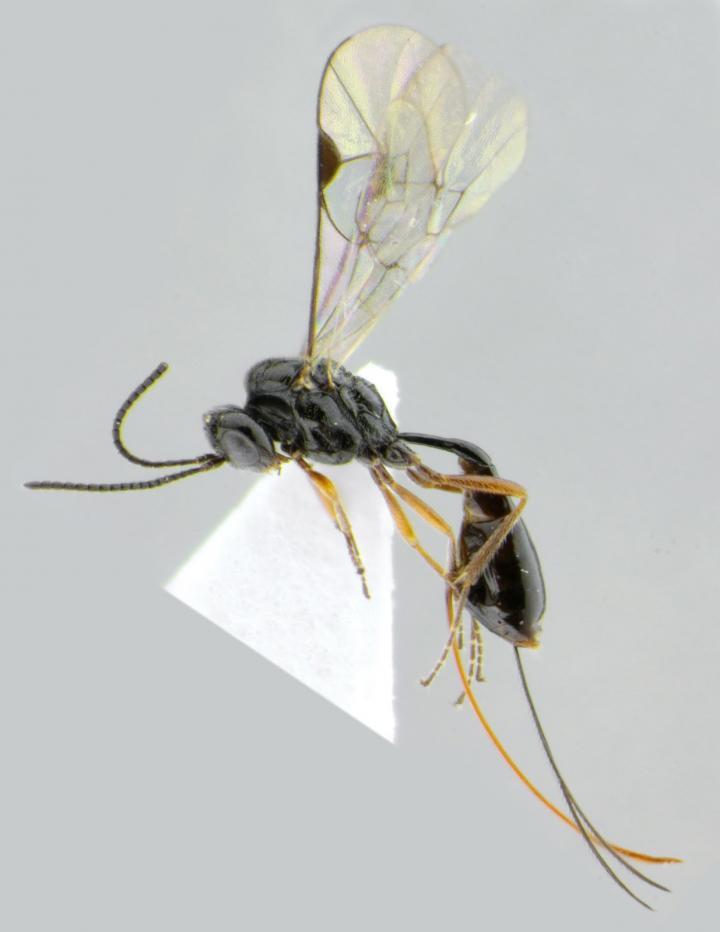Newly Described Darwin Wasp Species: Stethantyx covida
