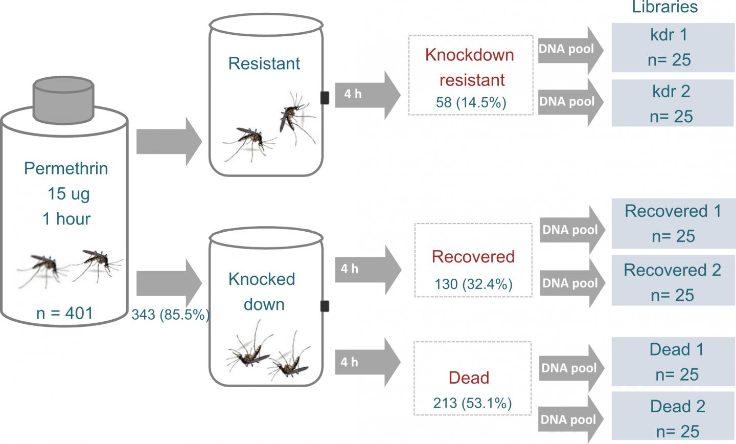 Yellow Fever Mosquitoes Evolve Different Strategies to Resist Pesticides
