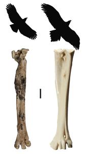 Archaehierax Image