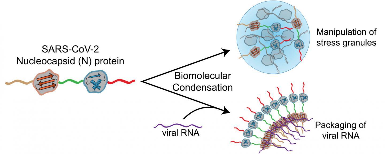 Biomolecular condensation graphic