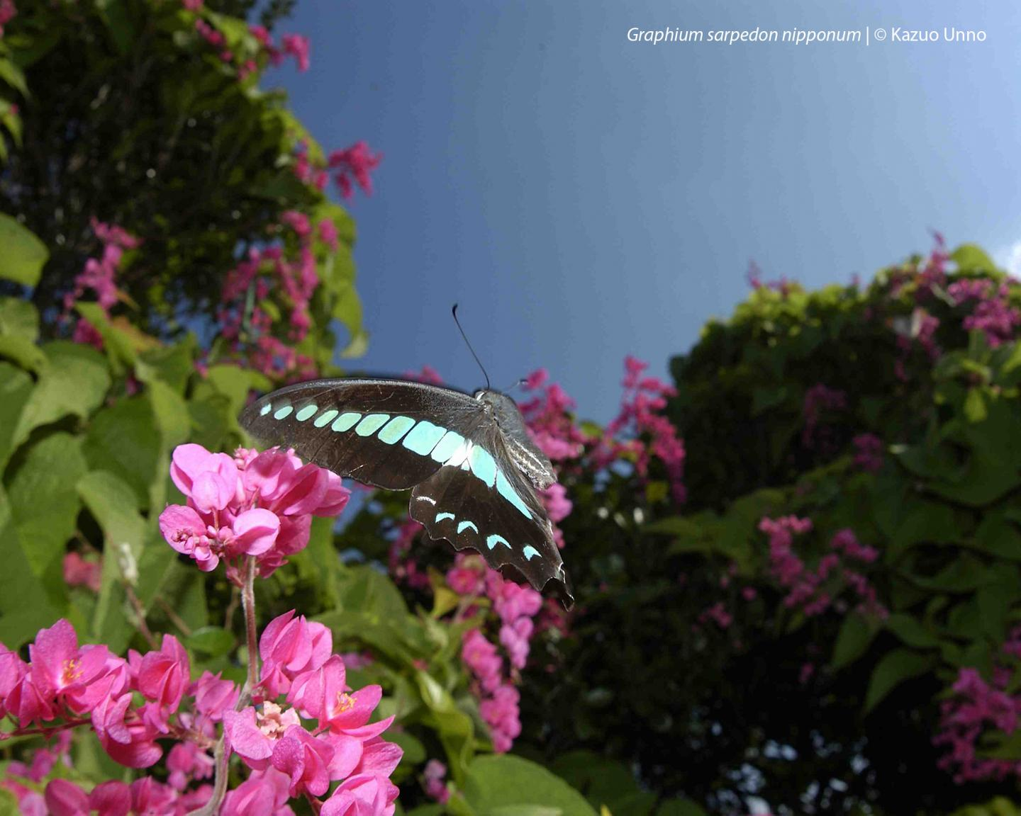 Common Bluebottle (1 of 3)