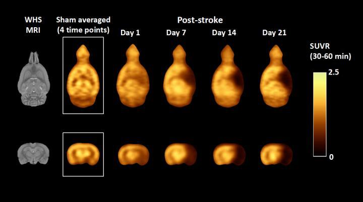 Average standardized uptake value ratio PET images of stroke rat model
