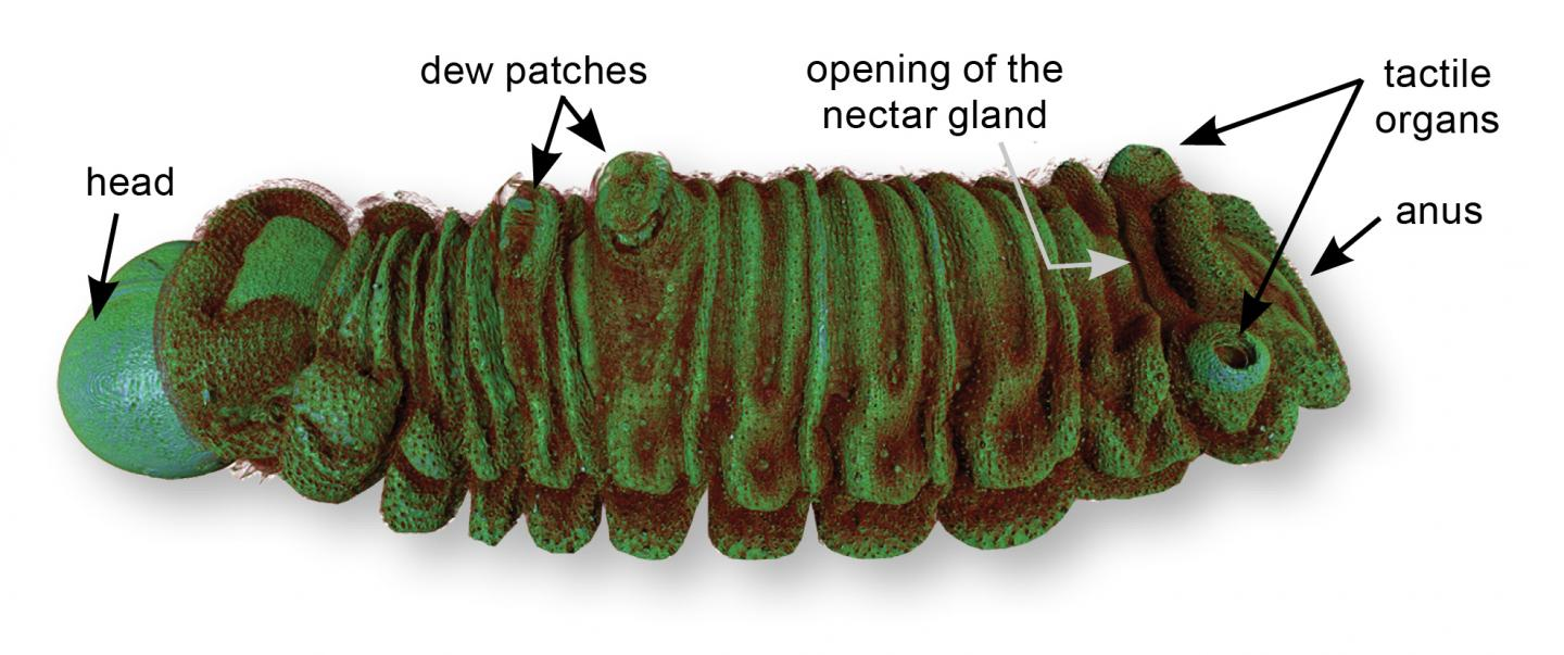 A False-Color MicroCT Reconstruction of the Lilac Silverline Caterpillar