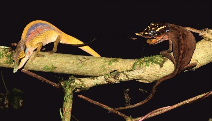 A Male of the New Species <em>Calumma uetzi</em> Flaunting Its Display Colors