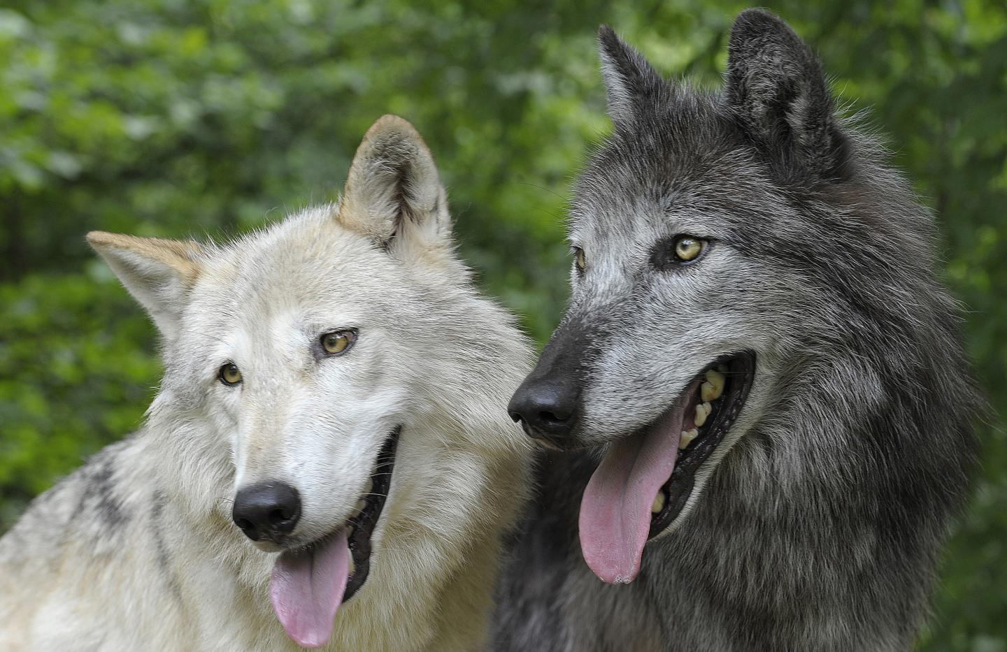 Wolves Cooperate