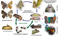Lifecycle of the Lilac Silverline Butterfly