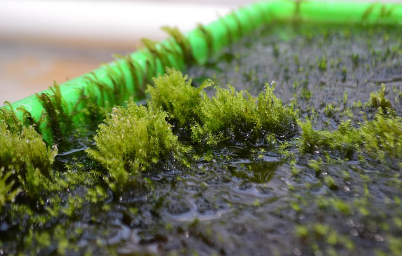 Aquatic Moss