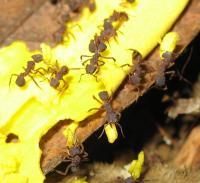 Fungus-Growing Ants