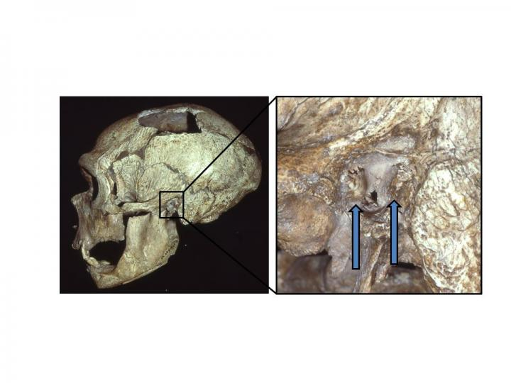 Neanderthaals Commonly Suffered from 'Swimmer's Ear'