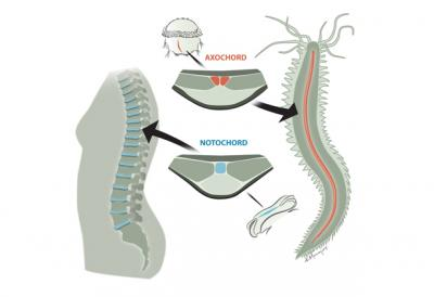 From Worm Muscle to Spinal Discs