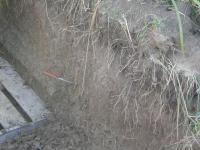 Miscanthus Roots