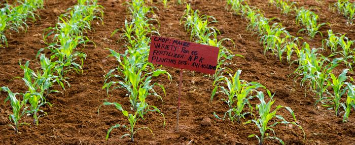 Fertilizer trial conducted in a maize field in Rwanda.