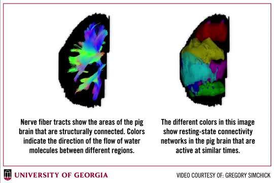 Pig Brain MRI