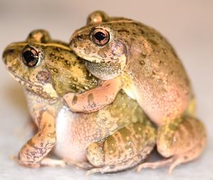 Burrowing Frog (in amplexus)