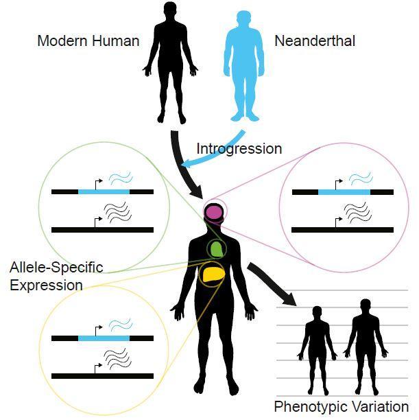Neanderthal-Inherited Gene Expression