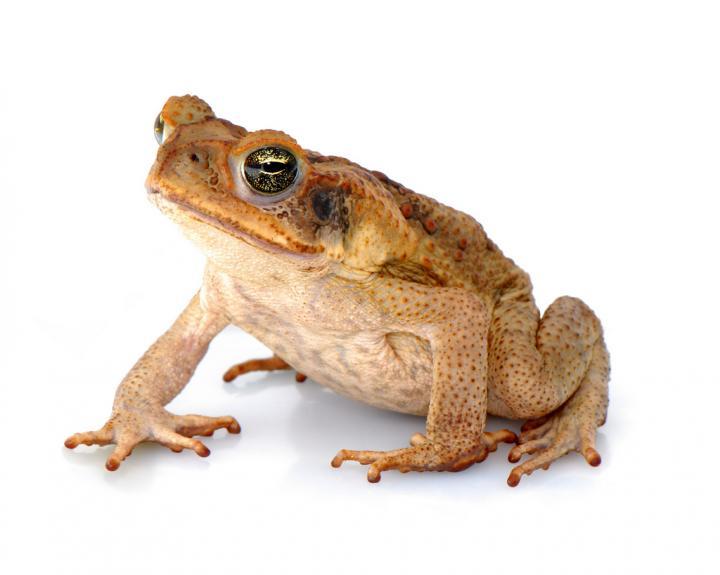 Cane Toads (<i>Rhinella marina</i>)