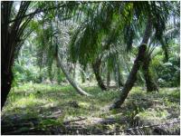 Oil Palm Plantations on Peat