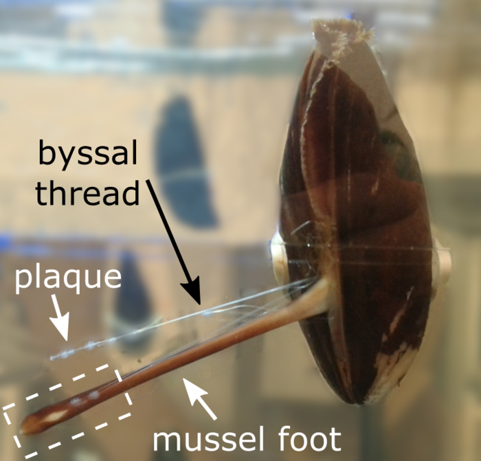 Bissal threads and glue plaques anchor mussels
