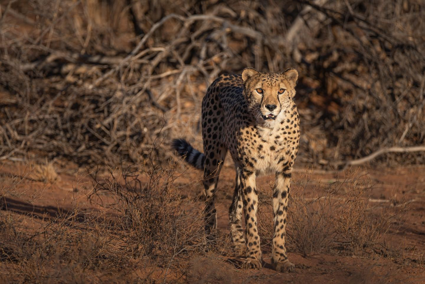 Cheetah in central Namibia