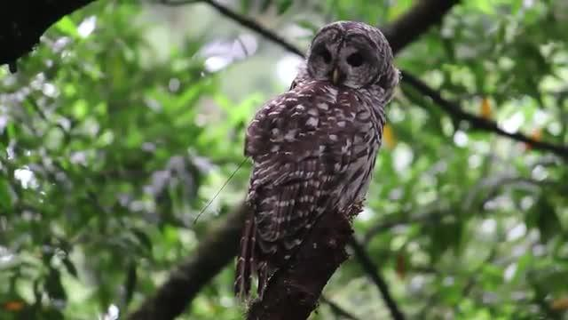 Spotted vs. Barred: Investigating Hybrid Owls in the West