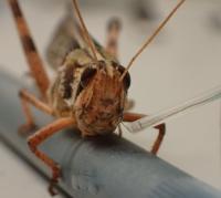 Locust Sensor