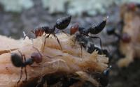 Workers of the Species <I>Crematogaster scutellaris</I> Around a Food Bait