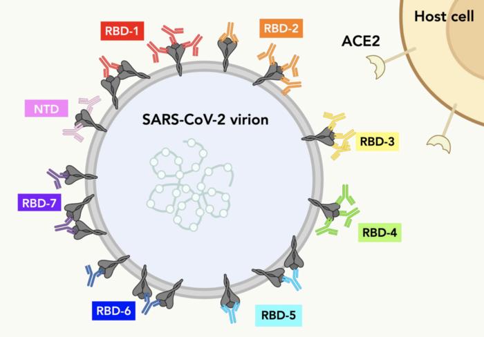 Antibody communities target spike