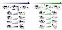 Plant-Eating Dinosaur Skulls Evolved Over Time