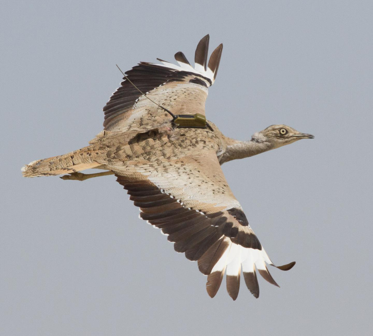 Asian houbara fitted with a satellite transmitter.