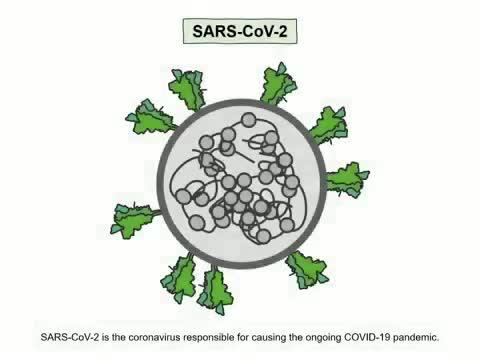 Neuropilin-1 (NRP1) is a host factor for SARS-CoV-2 infection