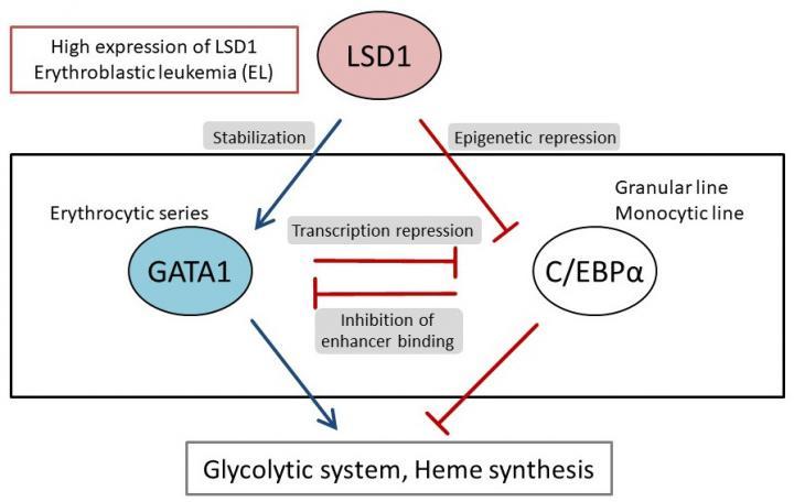 LSD1 produces the metabolic individuality characteristic of erythroblastic leukemia (EL)