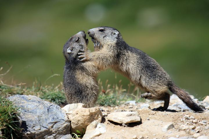 Playing Marmots