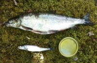 Speciation Process in Whitefish
