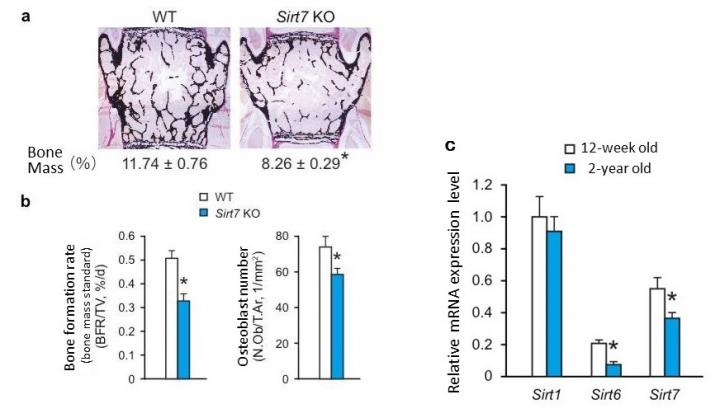 Bone tissue formation rates and expression of sirtuin in bone tissue of old mice